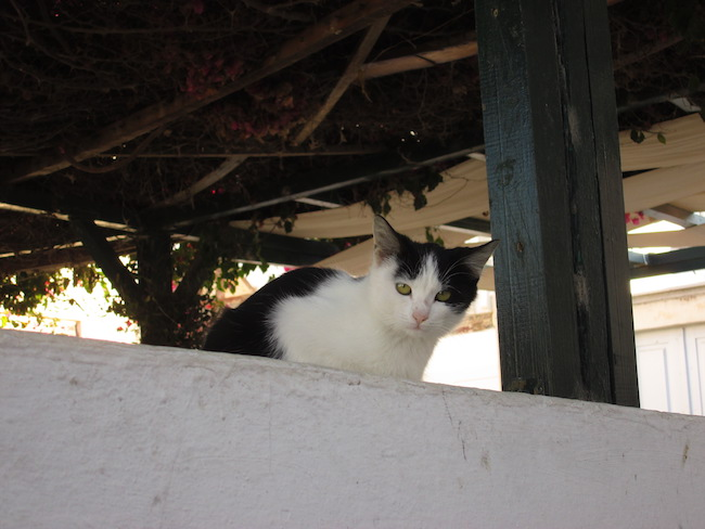 Sadly, stray cats and dogs are all over Santorini. But they sure are adorable!